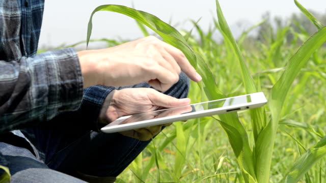 Farmer using tablet computer in corn field