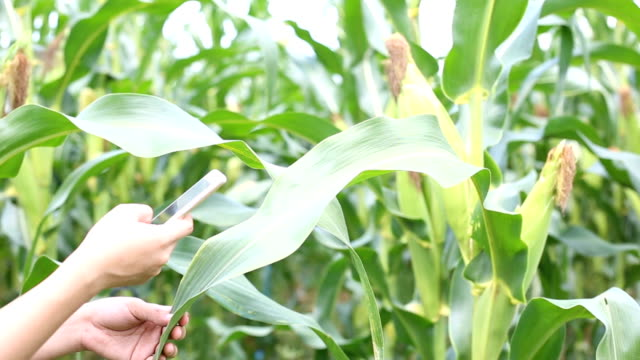 farmer using technology for check plant at corn field - monoculture stock videos & royalty-free footage