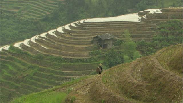 ws ha farmer walking along edge of terraced rice field, guilin, guangxi zhuang autonomous region, china - guangxi zhuang autonomous region china stock videos & royalty-free footage
