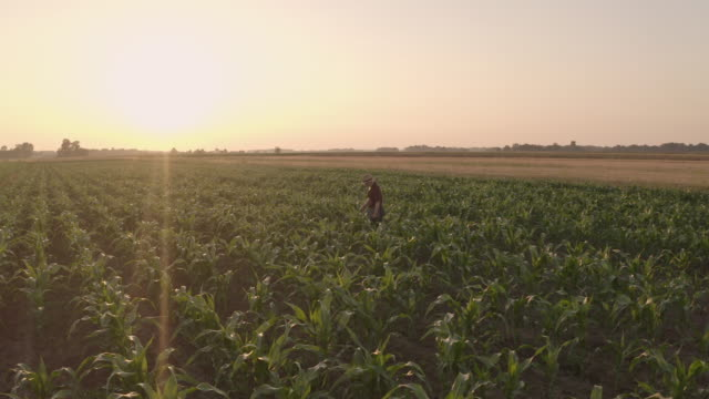 aerial farmer walking among plants of corn - plantation stock videos & royalty-free footage