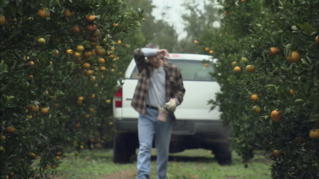 ms farmer walking away from driving off pick up truck in citrus orchard, orlando, florida, usa - picking harvesting stock videos & royalty-free footage