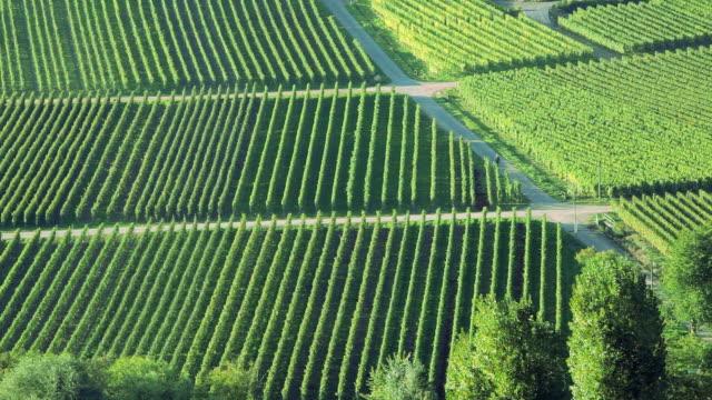 ha farmer walking between rows of grape vines in a vineyard  /  beilstein, baden-wrttemberg, germany - grape stock videos & royalty-free footage