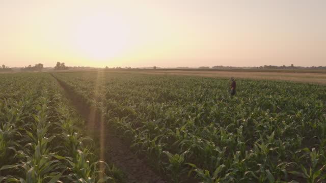 トウモロコシの畑を歩く空中農家 - 野菜 とうもろこし点の映像素材/bロール