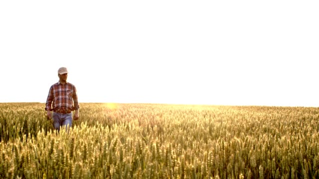 slo mo farmer walking in a wheat field - lavoratore agricolo video stock e b–roll