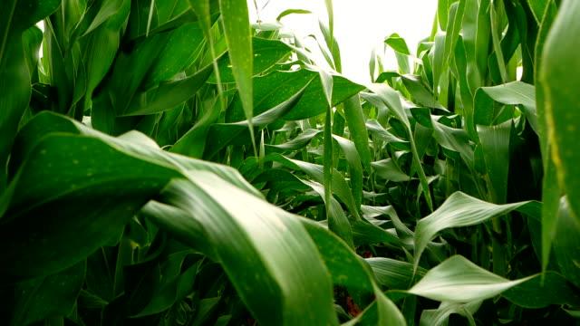 farmer walking in corn field - sample holder stock videos & royalty-free footage