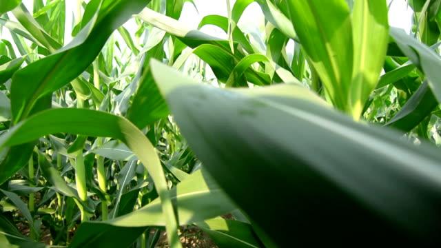vídeos de stock, filmes e b-roll de agricultor andando no milho - milho