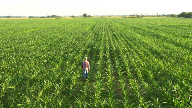 aerial farmer walking in the field of corn - corn cob stock videos & royalty-free footage