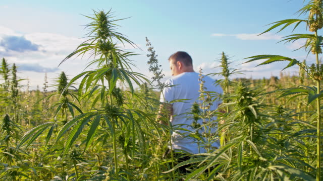 DS Farmer walking in the hemp field