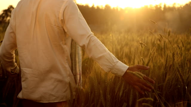 ms cs farmer walking in wheat field at sunset / samalkha, haryana, india - indian ethnicity stock videos & royalty-free footage