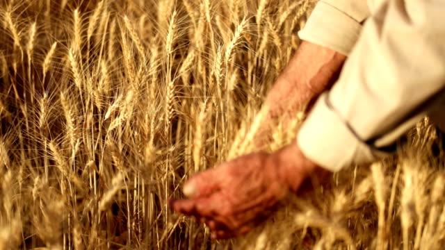 vídeos de stock e filmes b-roll de farmer walking in wheat field touching the heads of corn - agrafo