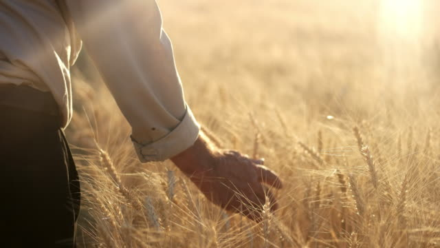 farmer walking in wheat field touching the heads of corn - barley stock videos and b-roll footage