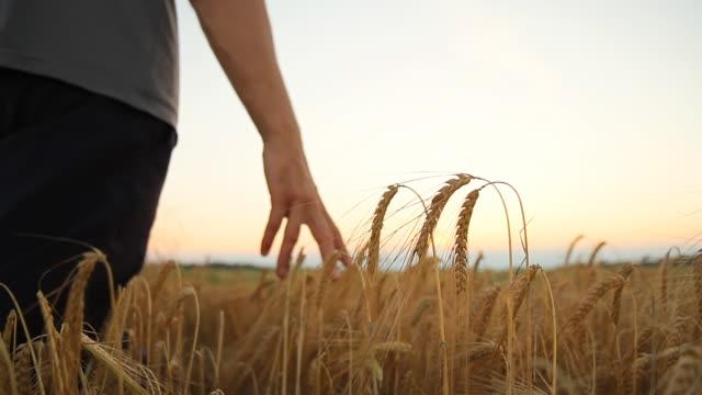 HD: Contadino a piedi In un campo di grano
