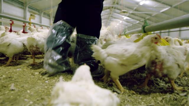 la farmer walking through a poultry farm - chicken coop stock videos & royalty-free footage