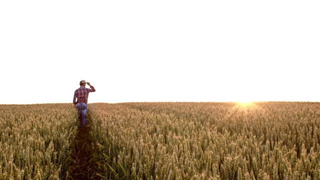 vídeos de stock, filmes e b-roll de farmer ws andando por um campo de trigo - cereal