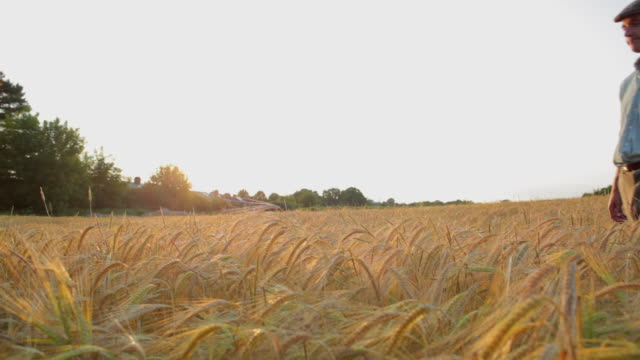 WS Farmer walking through barley field, standing with hands in pockets / St Albans, Hertfordshire, United Kingdom