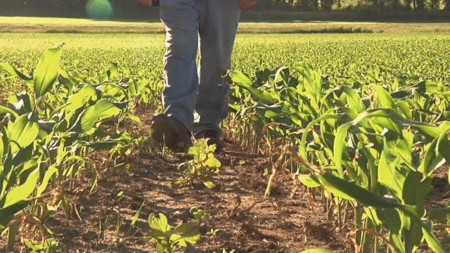 CU POV SLO MO Farmer walking through corn field / Columbus, Wisconsin, USA