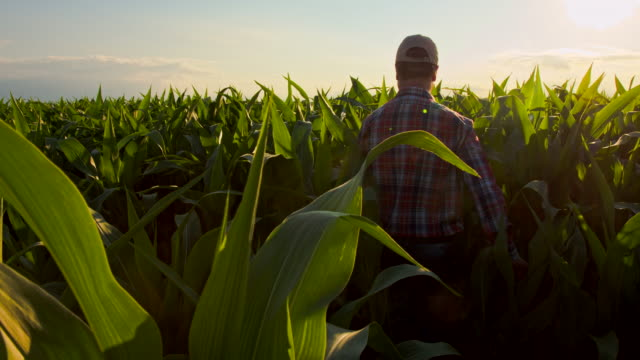 vídeos de stock, filmes e b-roll de ws cs agricultor andando por campo de milho - milho