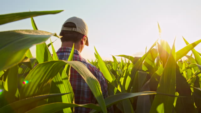 MS TS Farmer Walking Through Field Of Corn