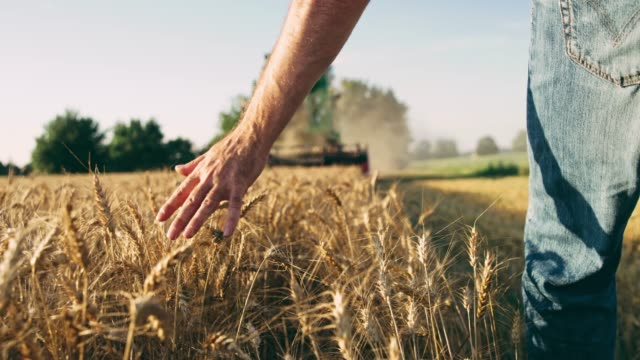 farmer walking,touching wheat in front of combine harvester,slow motion - tractor stock videos & royalty-free footage
