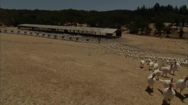 a farmer walks amid a large flock of turkeys on a farm. - turkey middle east stock videos & royalty-free footage