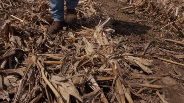 Farmer walks over stubble and stalks after corn harvest.