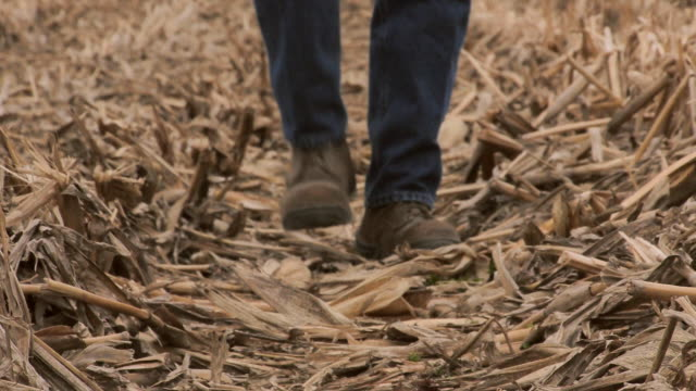 farmer walks over stubble and stalks after corn harvest. - cereal plant stock-videos und b-roll-filmmaterial