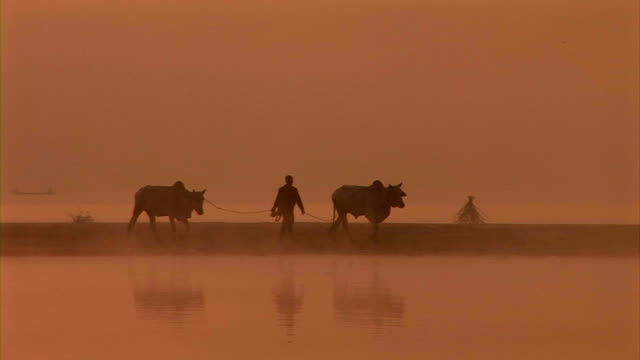 a farmer walks with two buffalo along inle lake. - in silhouette stock videos & royalty-free footage