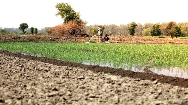 farmer watering in sorghum crop - sorghum stock videos & royalty-free footage