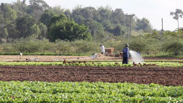 Farmer watering vegetables.