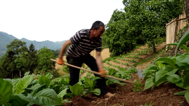farmer weeding in tobacco field. - rural scene stock videos & royalty-free footage
