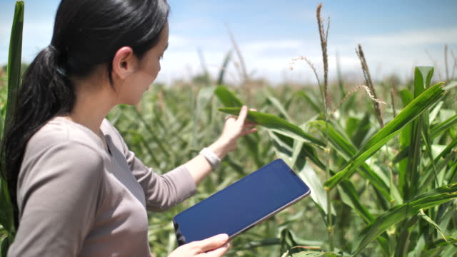 farmer with a tablet to monitor the harvest, a corn field - north america stock videos & royalty-free footage