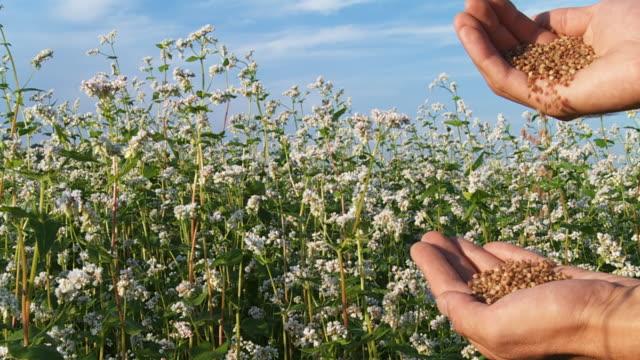 hd slow-motion: farmer with buckwheat grains - buckwheat stock videos & royalty-free footage
