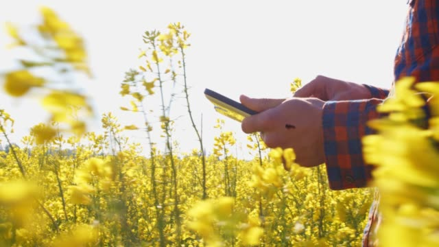 farmer with digital tablet walking in sunny,rural yellow canola field - crop stock videos & royalty-free footage
