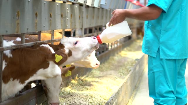 farmer with fresh milk in barn feeds calves - domestic cattle stock videos & royalty-free footage