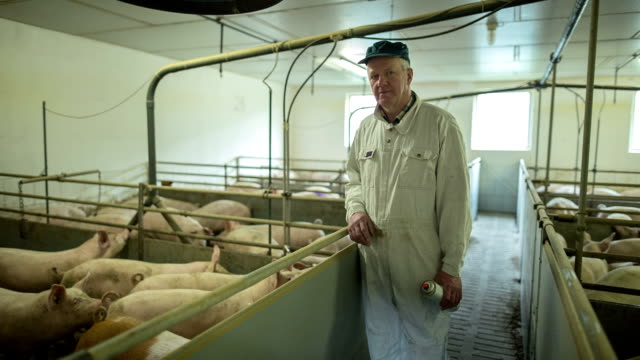 vídeos de stock e filmes b-roll de a farmer with his pigs in his own modern pig farming in north friesland. - porco