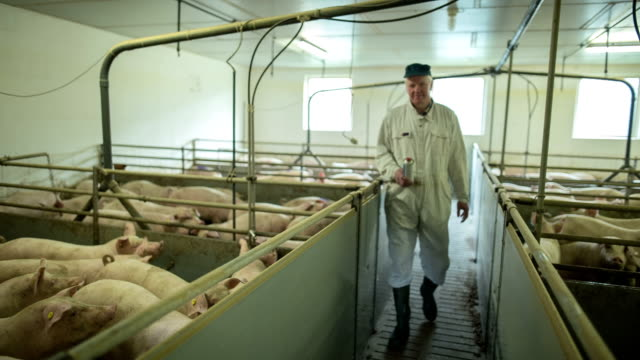 A farmer with his pigs in his own modern pig farming in North Friesland.
