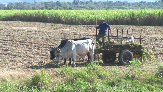 ws farmer with ox cart in sugar cane filed / holguin, cuba - arbeitstier stock-videos und b-roll-filmmaterial