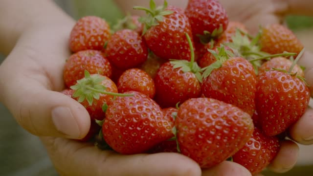 farmer with strawberry - picking harvesting stock videos & royalty-free footage