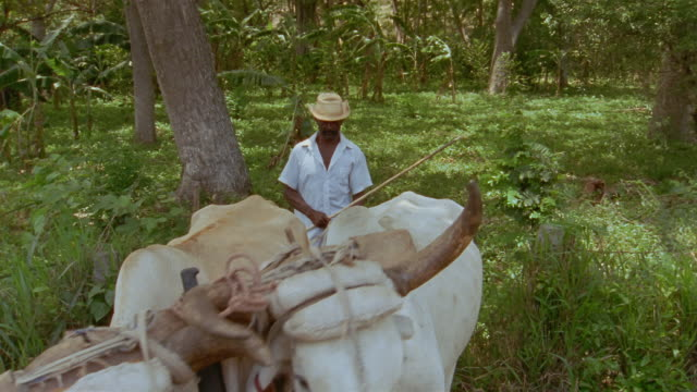 ms, farmer with two oxen in green area, santiago de cuba, cuba  - einzelner senior stock-videos und b-roll-filmmaterial