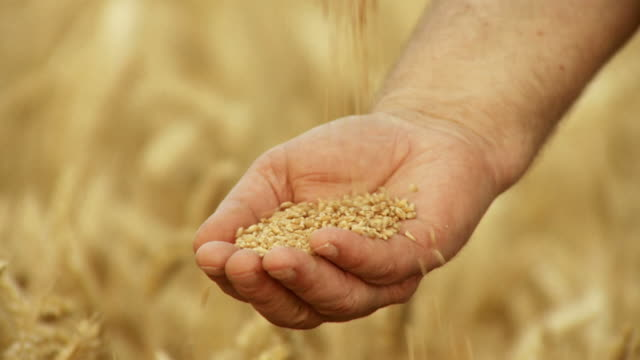 HD SLOW-MOTION: Farmer With Wheat Grains