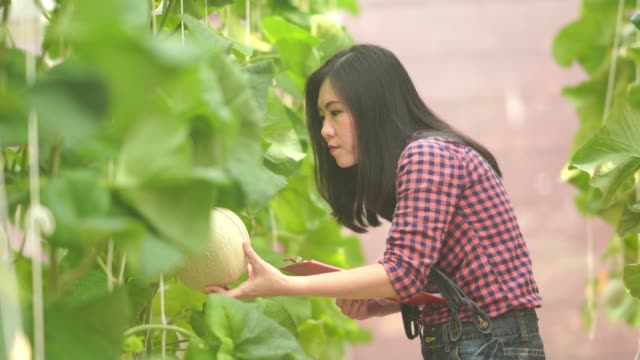 farmer woman checking quality of fresh melons or  plants growing in greenhouse supported - genetic modification stock videos & royalty-free footage