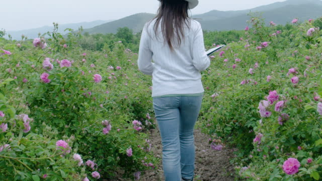farmer woman examining the crop of bulgarian oil rose plants in the middle of the field. walking and checking out the blossoms, using digital tablet. agricultural occupation. - agricultural occupation stock videos & royalty-free footage