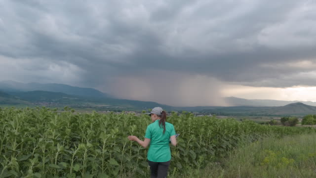 farmer woman examining the new crop of the corn plantation with a majestic view of a big storm cloud on the background. agricultural occupation. corn field. - agricultural occupation stock videos & royalty-free footage