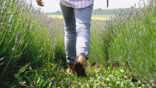 farmer woman examining the new harvest of the blooming lavender plantation. agricultural occupation. bulgarian lavender fields. - alternative therapy stock videos & royalty-free footage