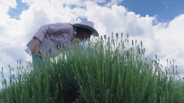farmer woman examining the new harvest of the blooming lavender plantation. agricultural occupation. bulgarian lavender fields. - agricultural occupation stock videos & royalty-free footage