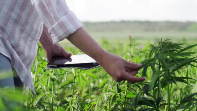 contadina che esamina il nuovo raccolto del campo di canapa. occupazione agricola. piantagione medica di marijuana. - canapa video stock e b–roll