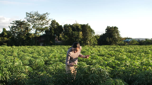 farmer woman examining the new harvest of the hemp field. agricultural occupation. medical marijuana - stability stock videos & royalty-free footage