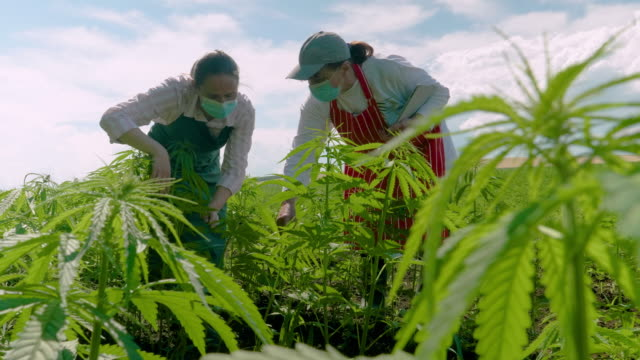farmer woman examining the new harvest of the hemp field during the covid-19 pandemic. agricultural occupation. medical marijuana plantation. coronavirus - narcotic stock videos & royalty-free footage