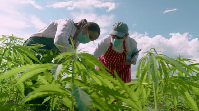 farmer woman examining the new harvest of the hemp field during the covid-19 pandemic. agricultural occupation. medical marijuana plantation. coronavirus - agricultural occupation stock videos & royalty-free footage