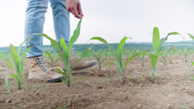 栽培された畑の真ん中で若いトウモロコシの植物を調べる農家の女性。歩いて、デジタルタブレットを使用して、植物をチェックアウトします。農業職業。 - 農学者点の映像素材/bロール
